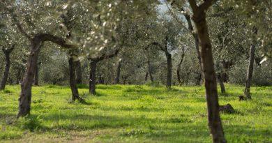 """A Trevi """"Capitale dell'Olio"""", in Umbria, sabato 19 giugno  si fa """"Merenda nell'Oliveta"""""""