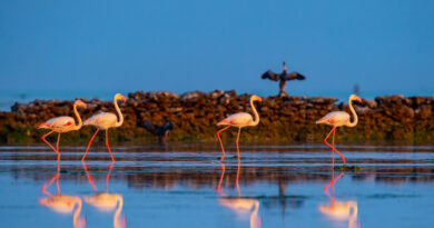 Lo spettacolo del passaggio dei fenicotteri in Qatar durante la migrazione annuale
